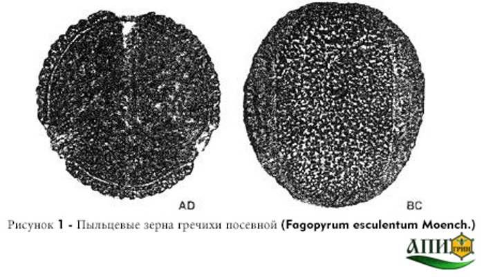Рисунок 1 - Пыльцевые зерна гречихи посевной (Fagopyrum esculentum Moench.) Меды монофлорные. Технические условия. ГОСТ 31766-2012