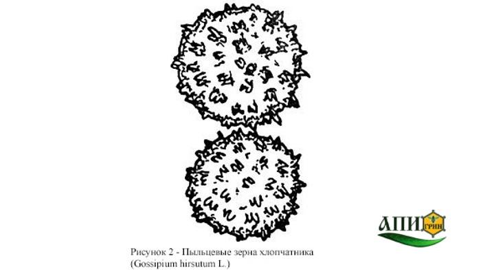 Рисунок 2 - Пыльцевые зерна хлопчатника. Мед натуральный. Технические условия. ГОСТ 19792-2001.