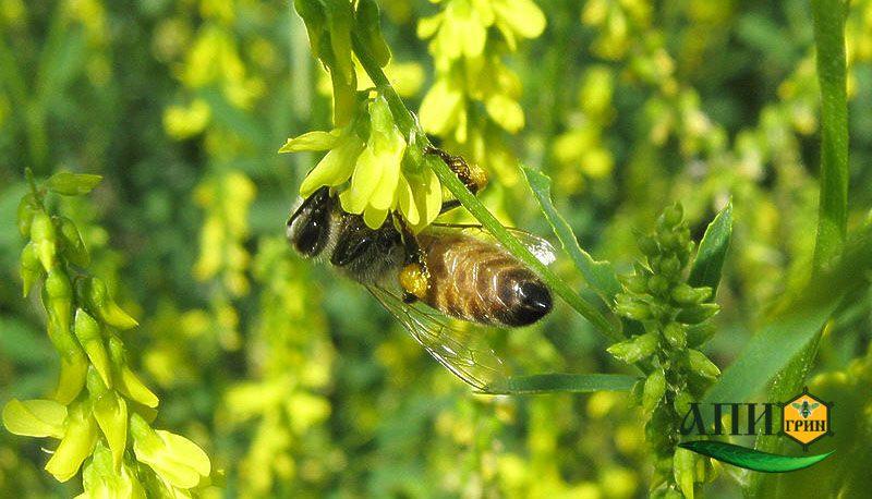 Лесной мед с добавление донника