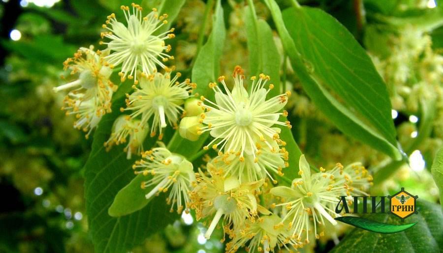 Липовый мед - цветки липы