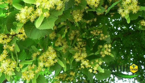 Лесной мед с липовых цветков