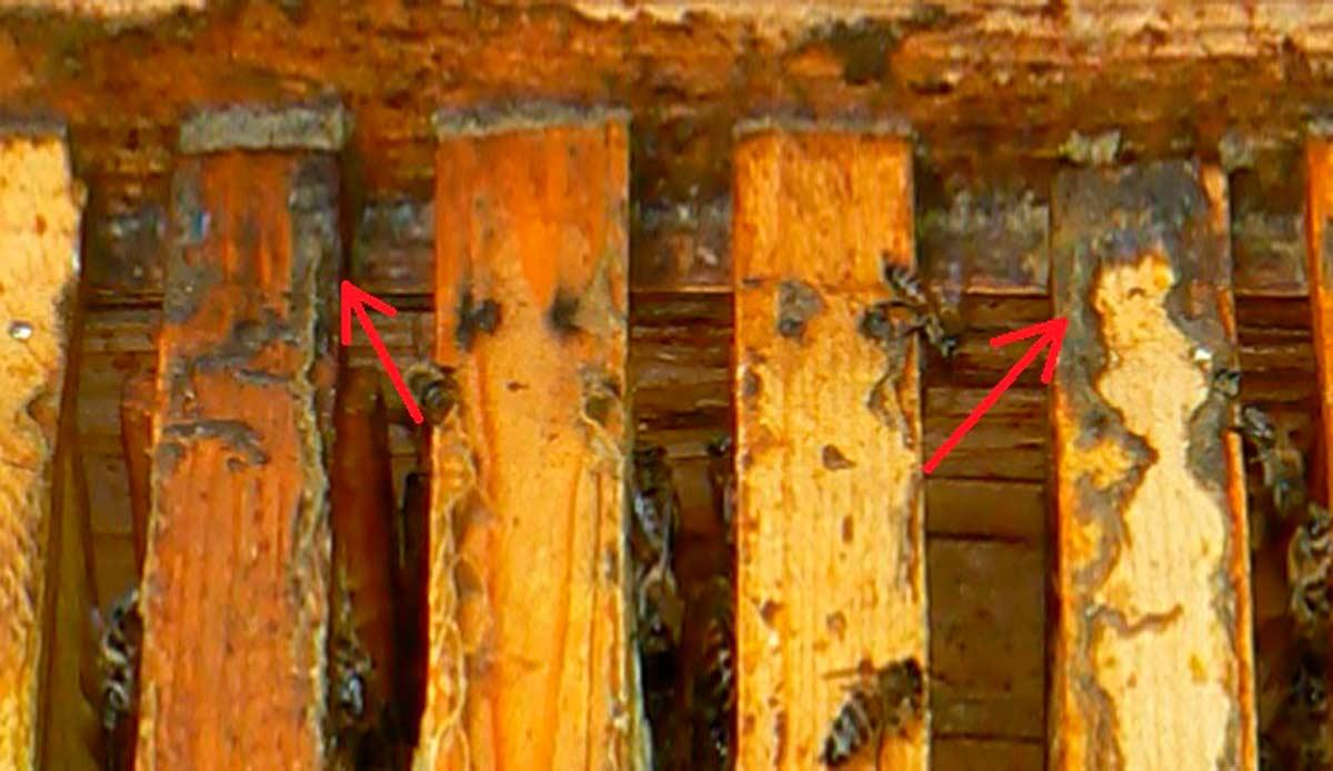 прополис на пчелиной рамке