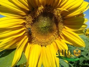 Пчела за сбором подсолнечникого нектара